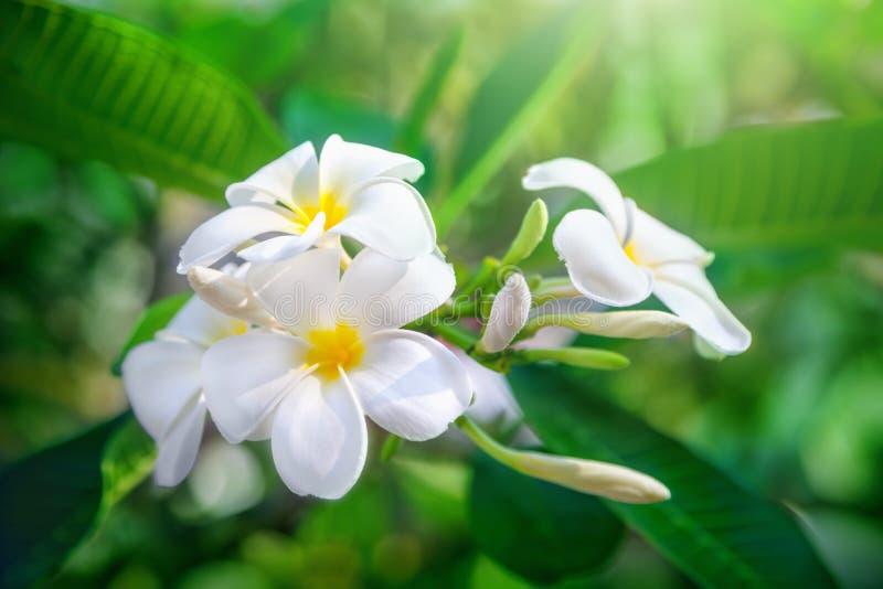 Frangipani flowers royalty free stock images