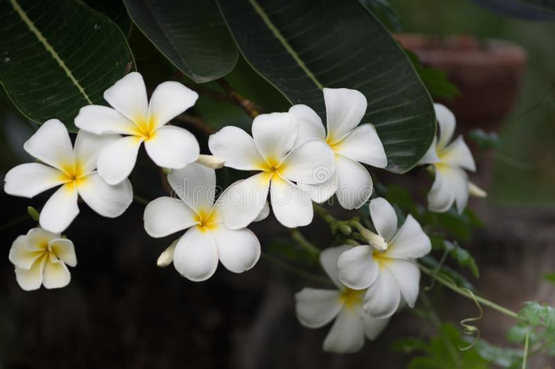 Frangipani flowers Close up beautiful Plumeria  with green leaves.Blooming white plumeria rubra L flowers stock photography