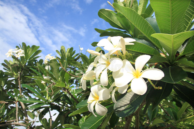 Download Frangipani Flowers On A Tree In The Garden Royalty Free Stock Image - Image: 20122326