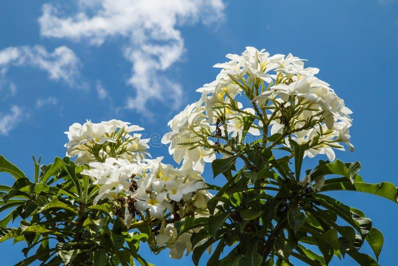 Download Frangipani flowers white stock image. Image of beautiful - 39508923