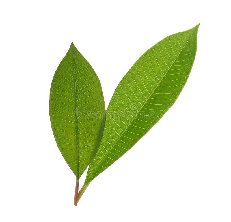 Frangipani groen die blad op wit wordt geïsoleerd stock foto