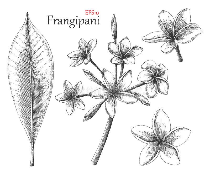 Frangipani hand drawing vintage style. Clip art isolated on white background stock illustration