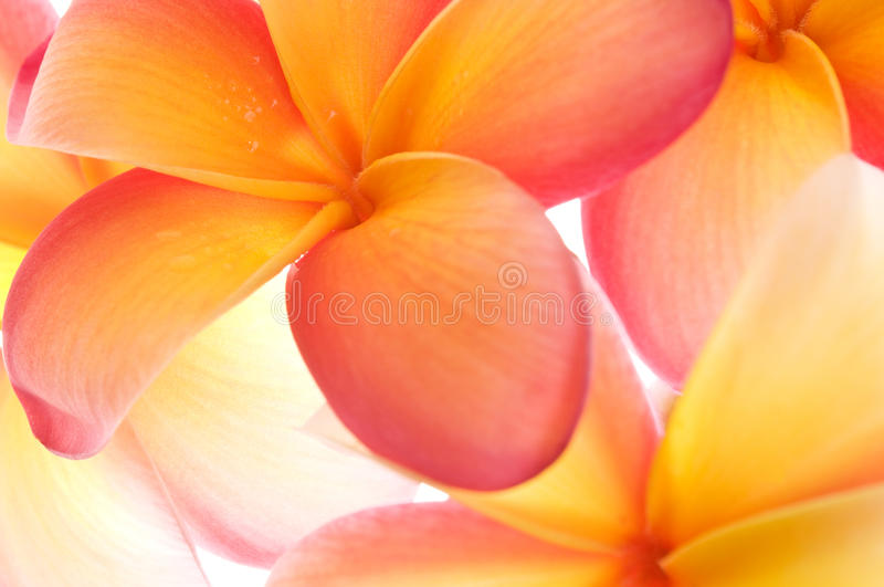Frangipani high key. Close up of a bunch of vibrant frangipani flowers stock images