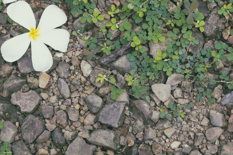 Frangipani kwiat na ziemi z zieloną rośliną obrazy stock