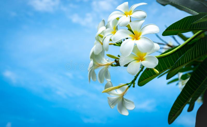 Frangipani kwiatu Plumeria albumy z zielenią opuszczają na niebieskiego nieba tle Biali kwiaty z kolorem żółtym przy centrum Zdro obrazy royalty free