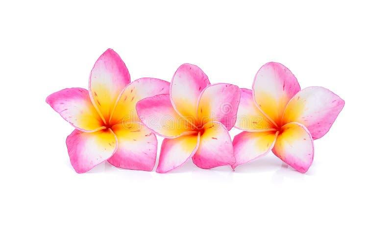 Frangipani kwiaty odizolowywający na białym tle zdjęcie royalty free