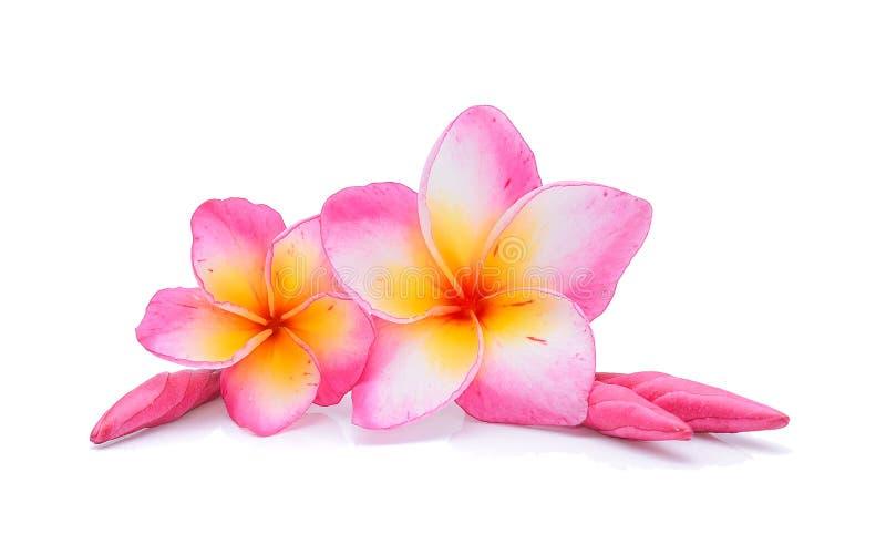 Frangipani kwiaty Odizolowywający na bielu zdjęcie royalty free