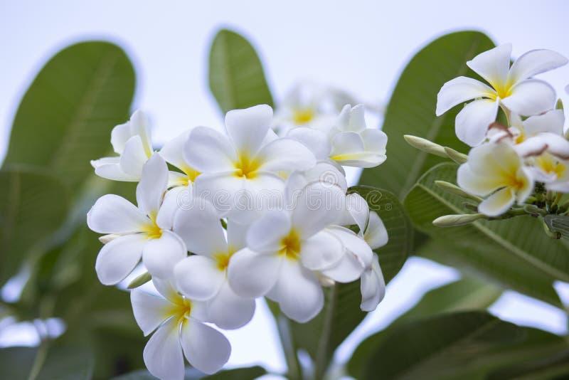 Frangipani kwitnie Frangipani białego i opuszcza piękny, pojęcie: Zdroju aromata pachnidła Relaksujący symbole, A kwiaty bukiet zdjęcia royalty free