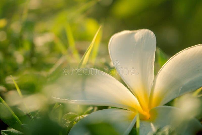 Frangipani kwitnie na trawie obraz royalty free