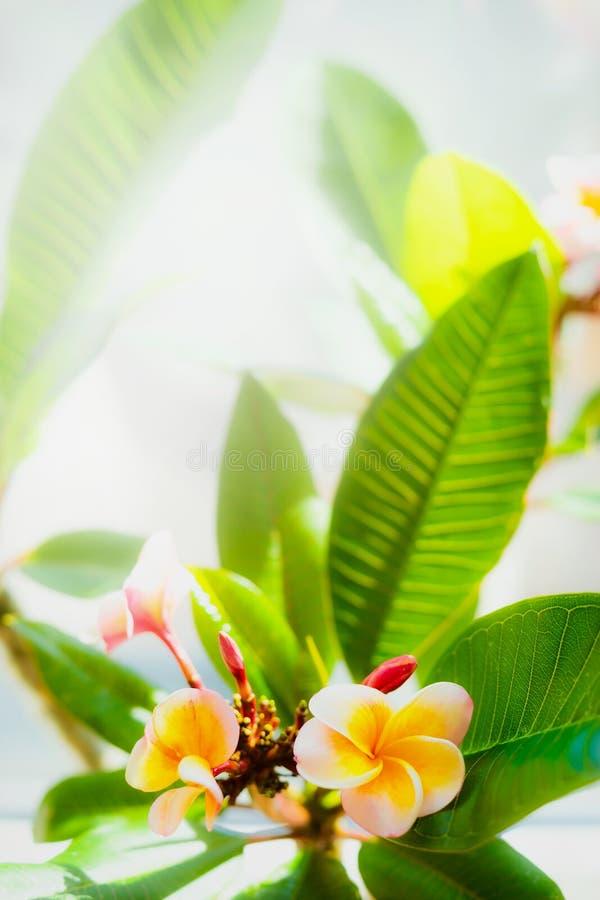 Frangipani kwitnie z liśćmi zdjęcie stock