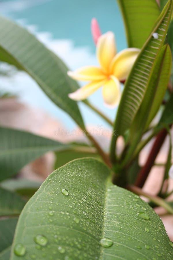 Frangipani Leaf royalty free stock images