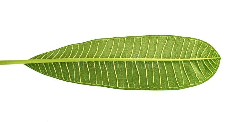 Frangipani leaf isolated royalty free stock photos