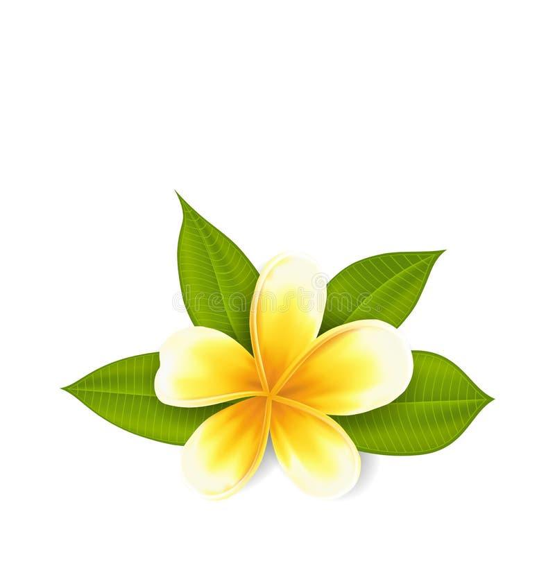 Frangipani mit Blättern, exotische Blume lokalisiert auf Weiß lizenzfreie abbildung