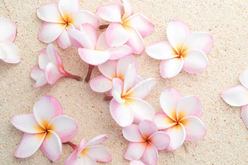 frangipani plażowa grupa zdjęcie royalty free