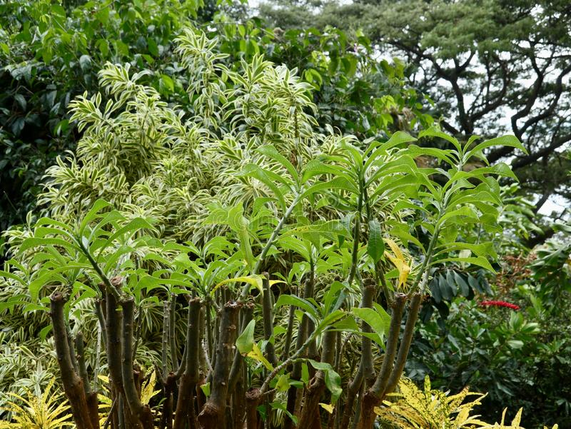 Frangipani Plant in Lush Green Tropical Setting royalty free stock photo