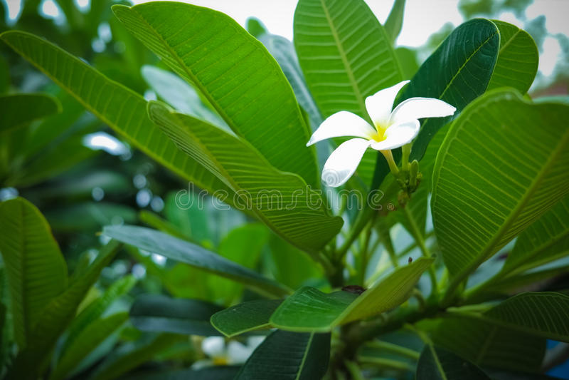Frangipani Plumaria stock photo