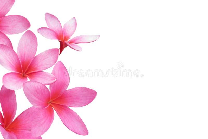 frangipani plumeria zdjęcia royalty free