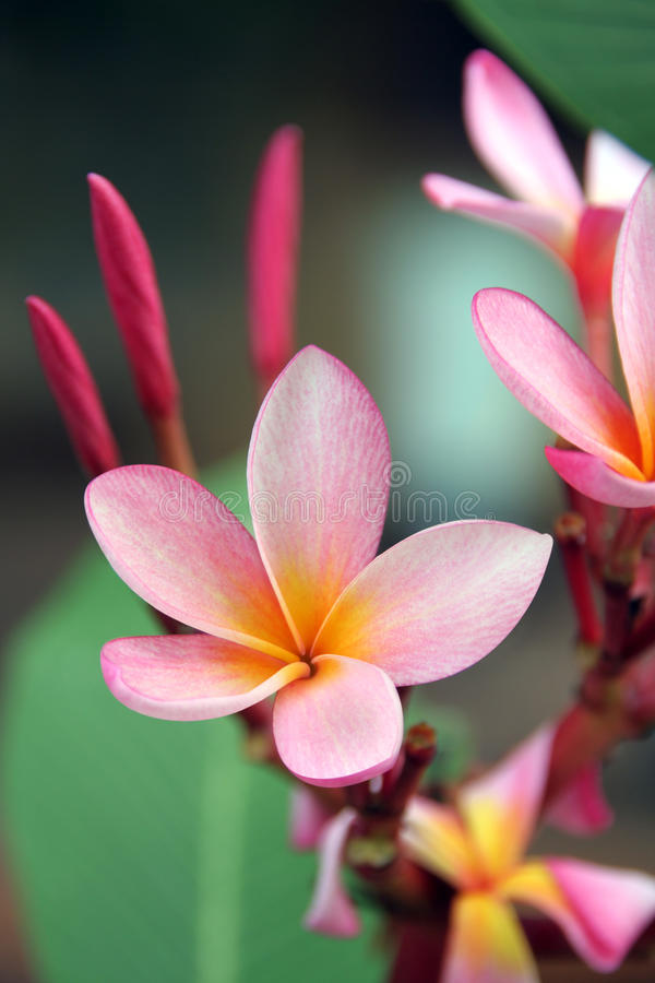 Frangipani - Plumeria royalty-vrije stock foto's