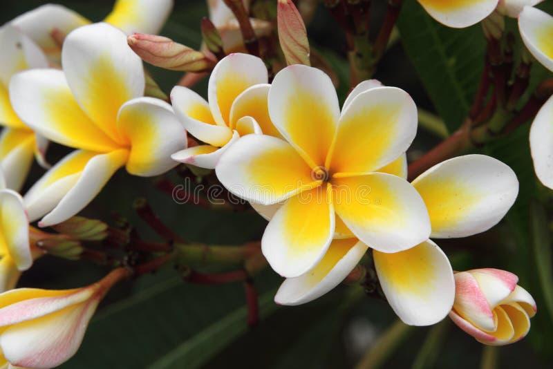 Frangipani (Plumeria) στοκ εικόνα