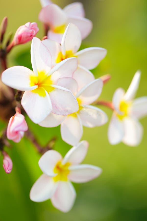 Frangipani Plumeria στοκ φωτογραφίες