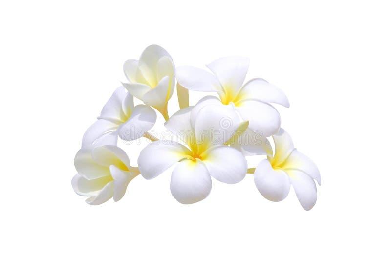 frangipani plumeria zdjęcie stock