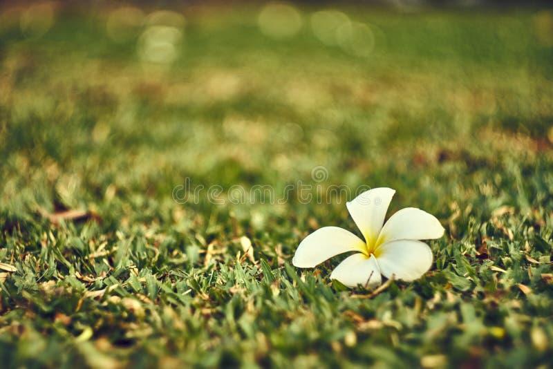 Frangipani of Plumeria-bloemdaling op het grasgebied stock afbeeldingen