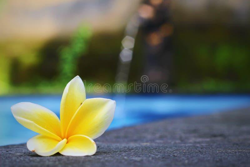 Frangipani/Plumeria-Blume nah an Swimmingpool, Bali lizenzfreie stockbilder