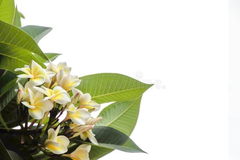 Frangipani Plumeria Champa kwiat na białym tle zdjęcia stock