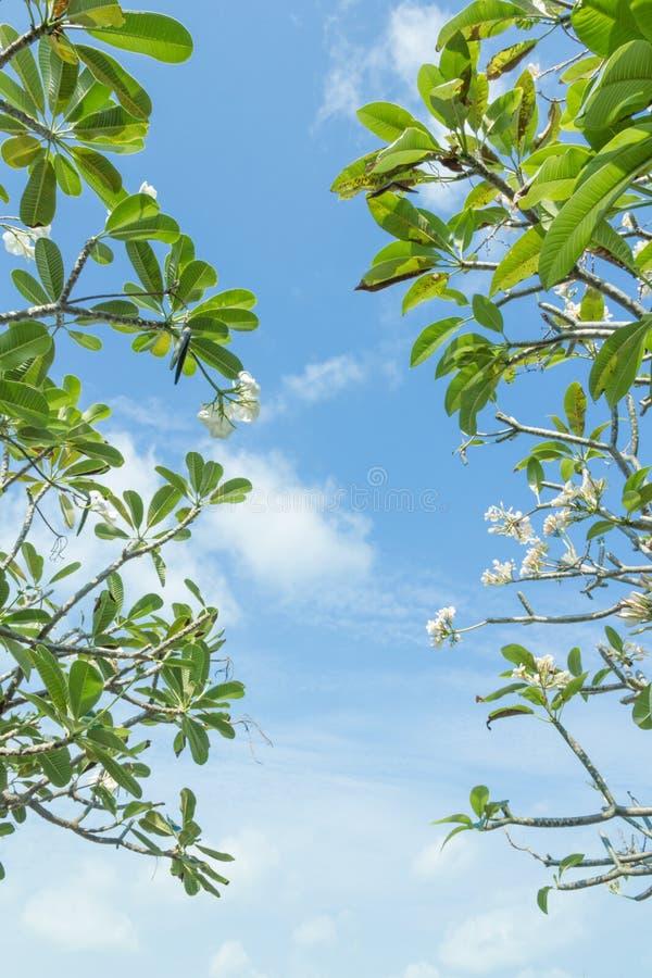 Frangipani (Plumeria) drzewo zdjęcie royalty free