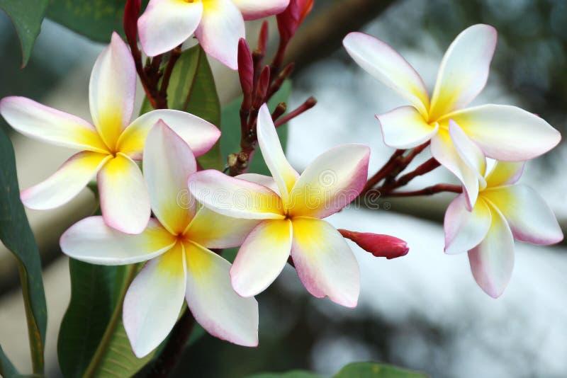 Frangipani or Plumeria royalty free stock photos