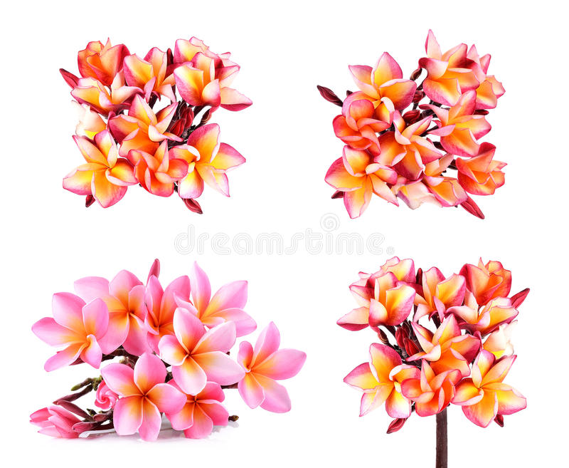 Frangipani or Plumeria Flower Isolated on White Background stock photo