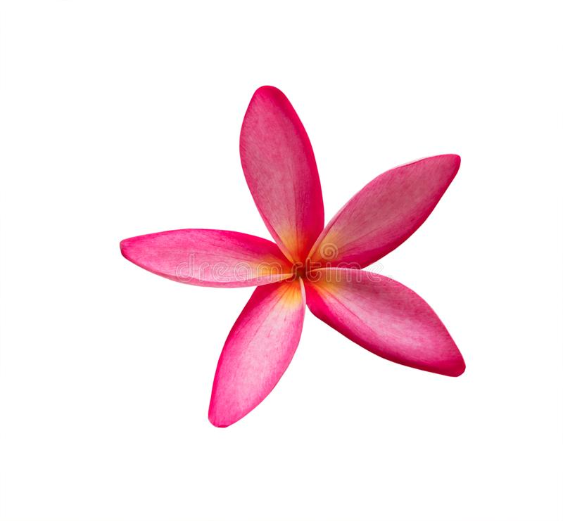 Frangipani plumeria flower isolated on white background stock photography