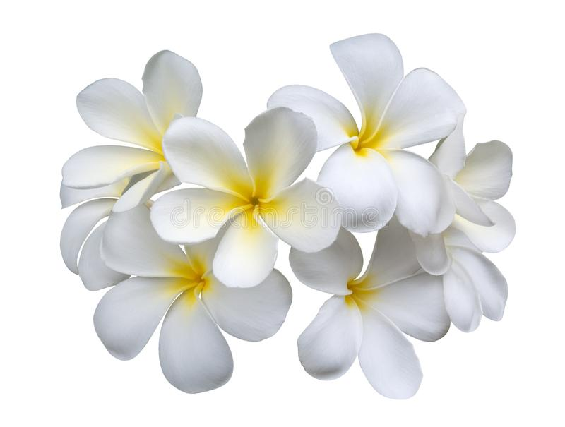 Frangipani plumeria flowers isolated on white background, clipping path royalty free stock images