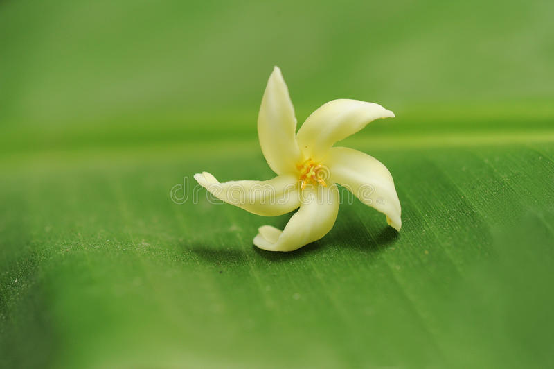Download Frangipani / Plumeria On A Green Leaf Stock Images - Image: 15403194