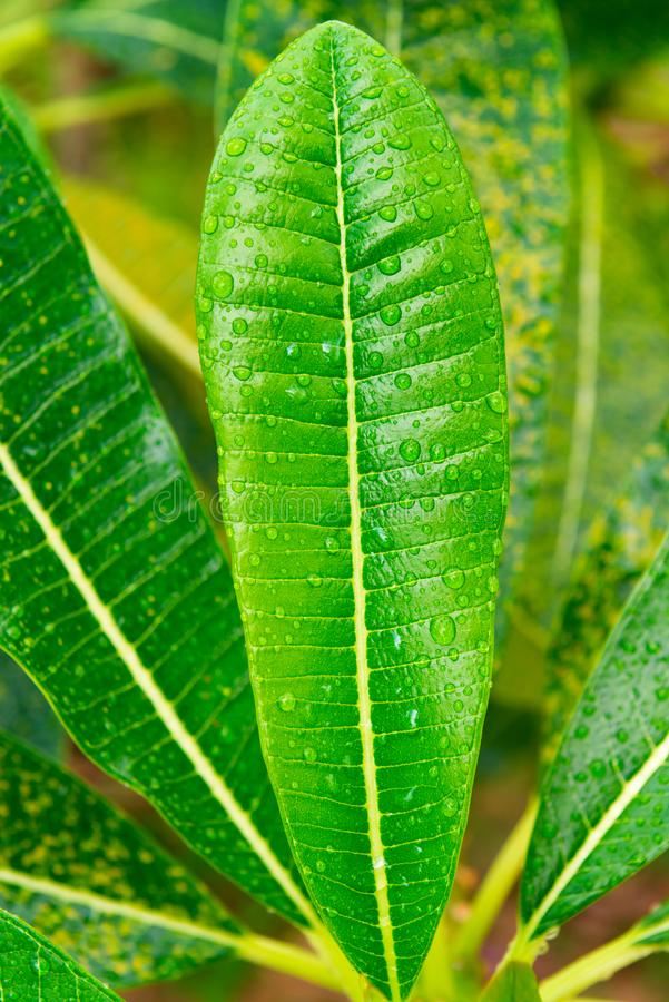 Frangipani or plumeria green leaves with rain-drops. Frangipani or plumeria green tree with rain drops on leaves royalty free stock photos
