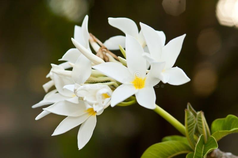 Frangipani, Plumeria-het bloeien stock afbeeldingen