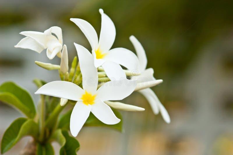 Frangipani, Plumeria-het bloeien royalty-vrije stock afbeeldingen