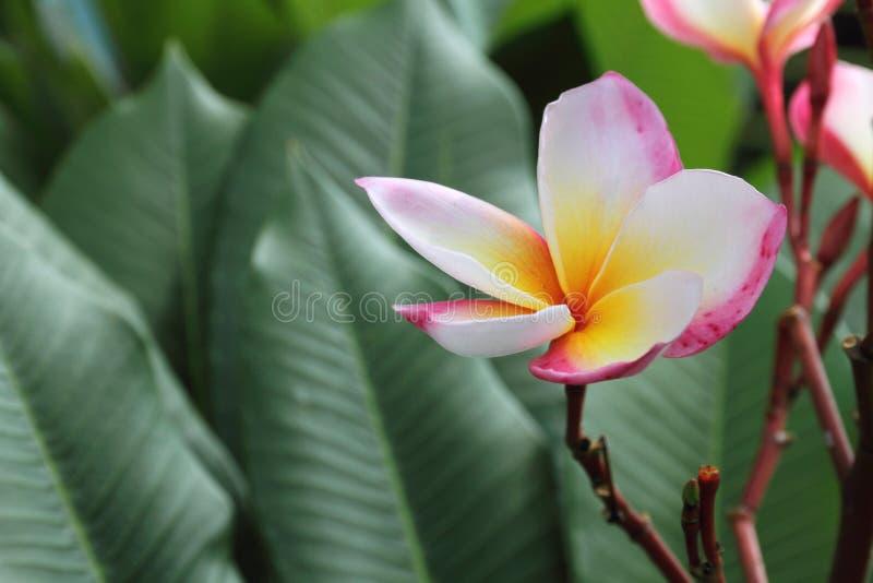 Frangipani (plumeria) kwiat zdjęcia stock