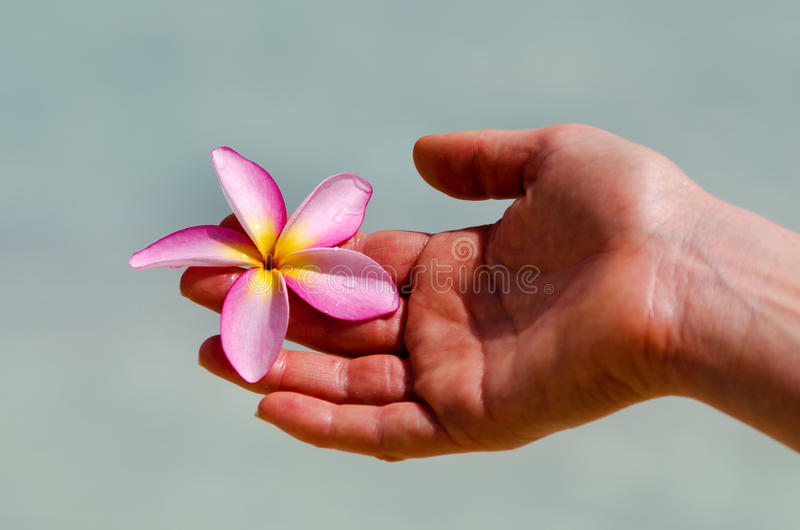 Frangipani (Plumeria rubra) fotografia royalty free