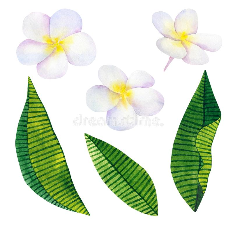 Frangipani or plumeria. White flowers and green tropical leaves. Hand drawn watercolor illustration. Isolated on white background. Frangipani or plumeria. White vector illustration