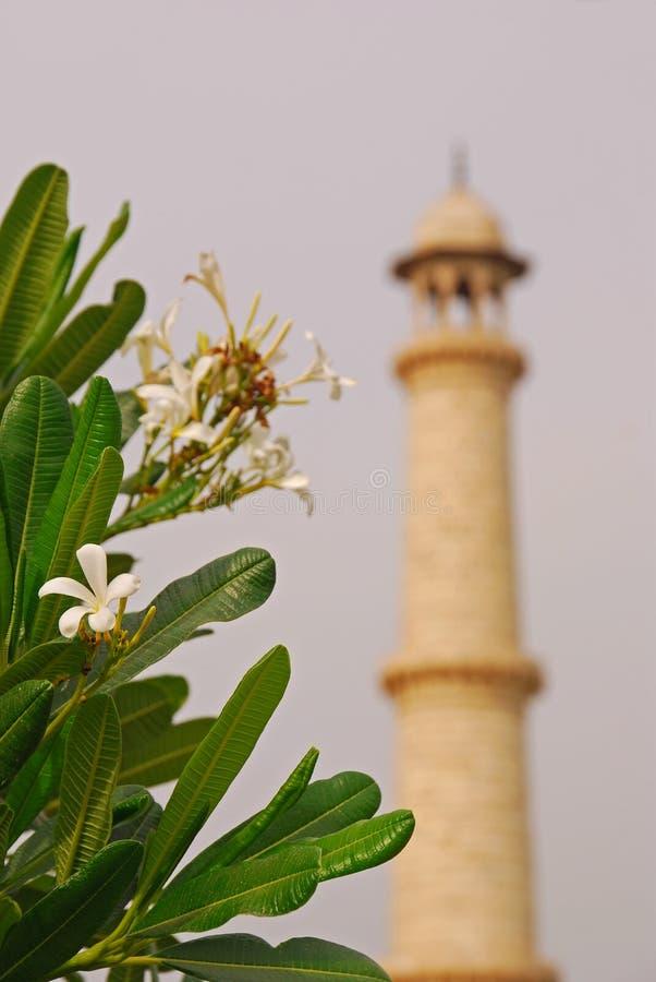 Frangipani przed minaretem Taj Mahal zdjęcie stock