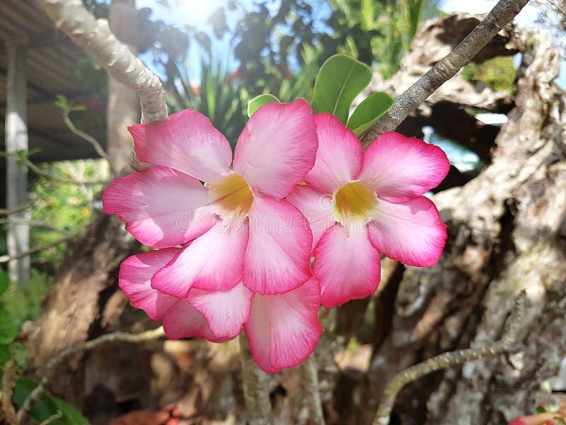 Frangipani różowy kwiat zdjęcia stock