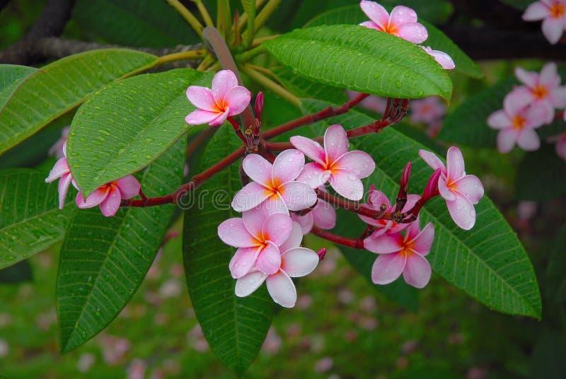 Frangipani rose avec des gouttelettes d'eau photos stock