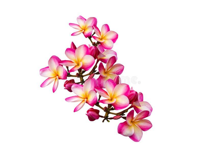 Frangipani rose d'isolement ou plumeria de groupe de fleurs photos libres de droits