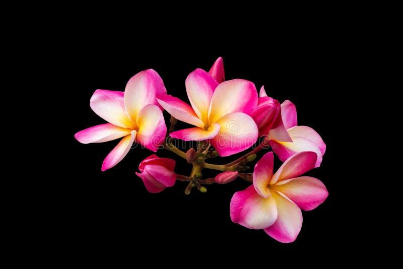 Frangipani rose d'isolement ou plumeria de groupe de fleurs images stock