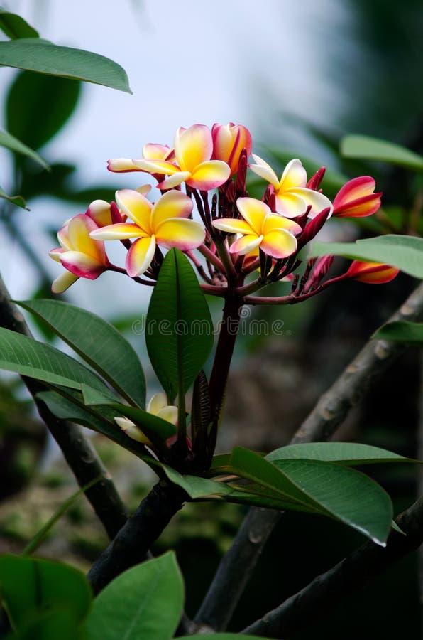 Frangipani (rubra del Plumeria) fotos de archivo