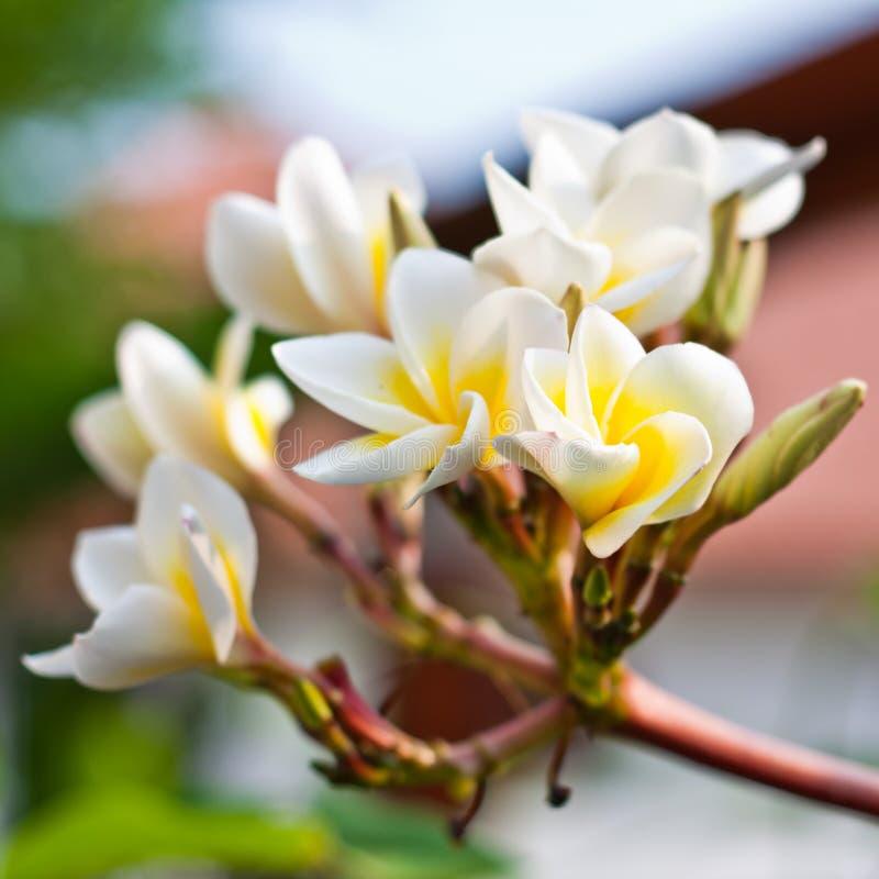 Free Frangipani Spa Plumeria Flowers Stock Photography - 26158702