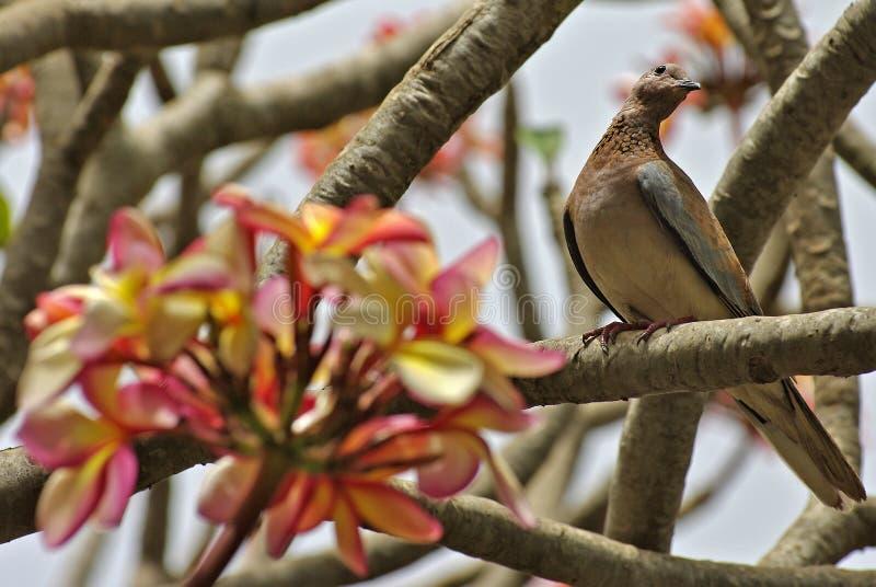 Frangipani tree flowers and turtledove royalty free stock images