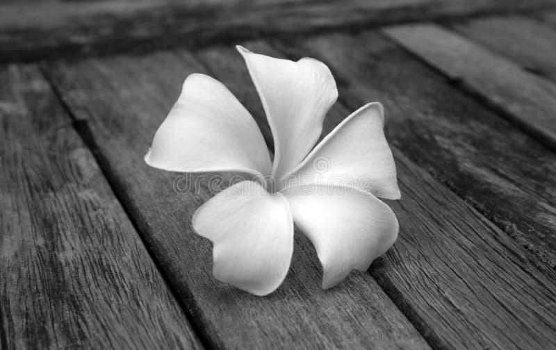 Frangipani tropical das flores fotos de stock royalty free
