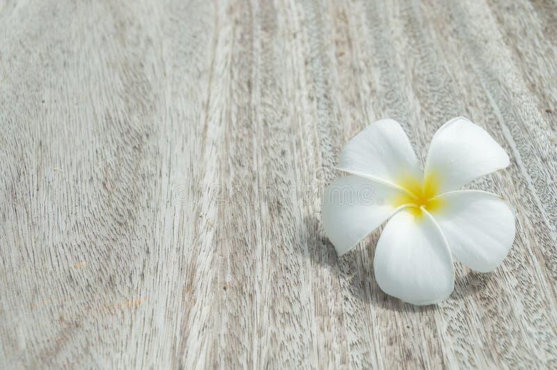 Frangipani tropical das flores foto de stock